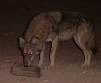Arabischer Wolf im Zoo von Dubai